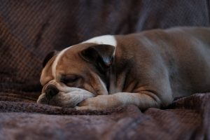 english bulldog food recommendations