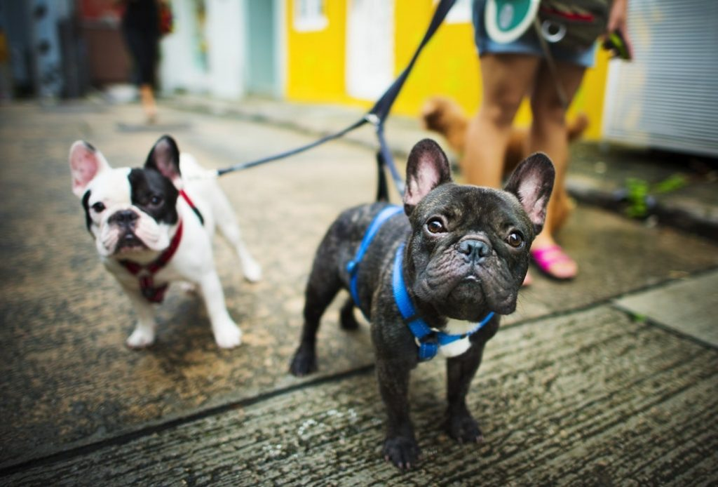 harness for french bulldogs