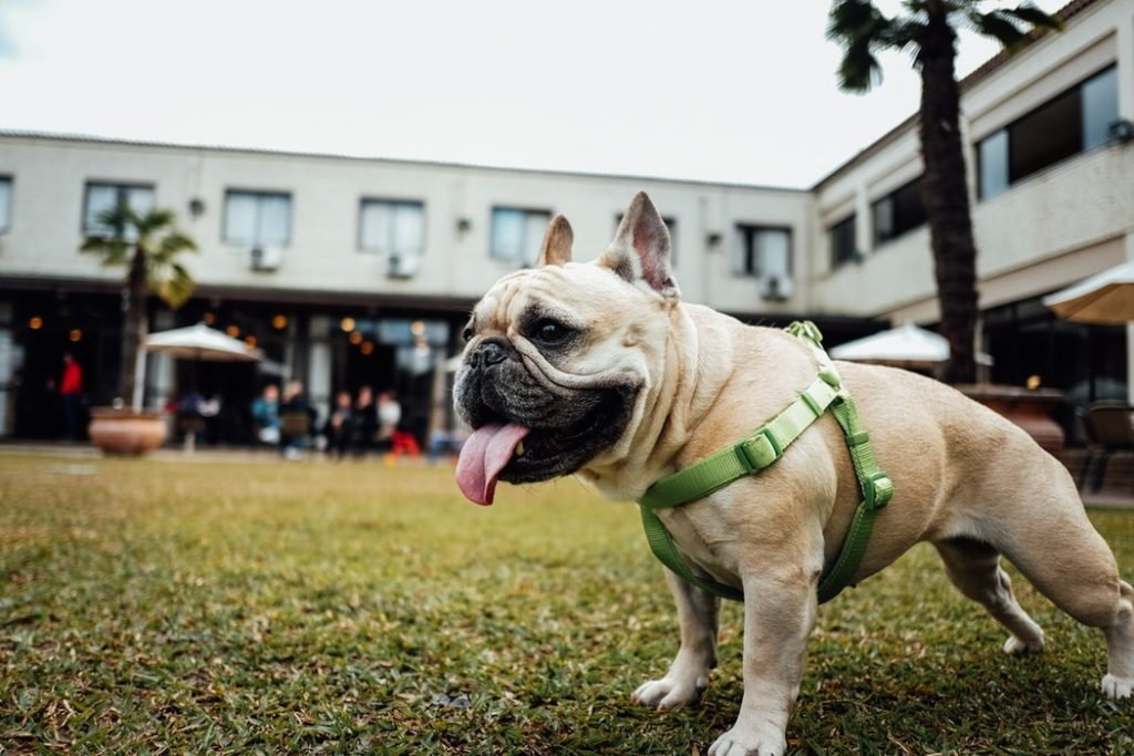 harness and french bulldog
