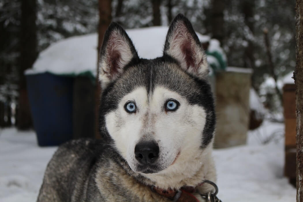 Best Dog Food for Siberian Husky: Buyers Guide in September 2019